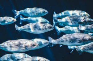 Silbrige Fische unter Wasser im Lichtschein